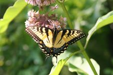 Free Swallowtail 2 Stock Images - 1469944