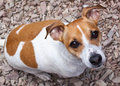 Free Jack Russell Terrier Stock Photos - 14606613