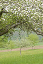 Free Blossoming Apple Trees Stock Photos - 14608453