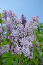 Free Lilac Flower Stock Images - 14608504
