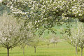 Free Blossoming Apple Trees Stock Photography - 14608532