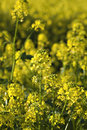 Free Rape Plant And Rape Field Stock Photo - 14608910