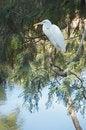 Free White Egret Royalty Free Stock Image - 14609926