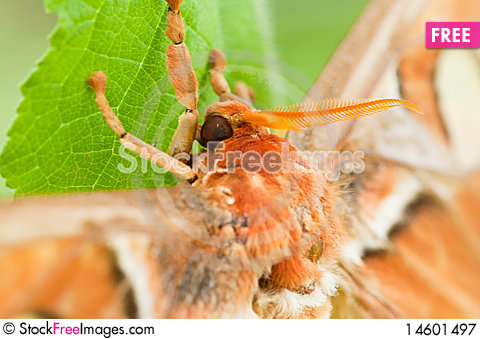 Free Atlas Moth Royalty Free Stock Photography - 14601497