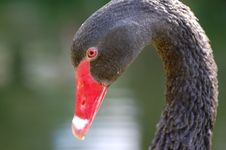 Free Black Swan Head Royalty Free Stock Image - 14600046