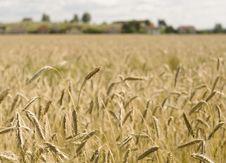 Free Wheat Field Royalty Free Stock Photo - 14600145