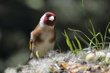 Free European Goldfinch Stock Photography - 14600162