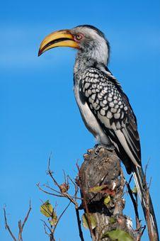 Free Yellow Billed Hornbill Stock Photography - 14600672