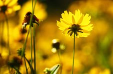Free Yellow Chrysanthemum Stock Photos - 14601243