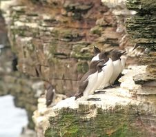 Free Guillemot Eating Small Fish On Ledge Stock Image - 14601561