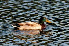 Free Swimming Mallard Stock Images - 14601654