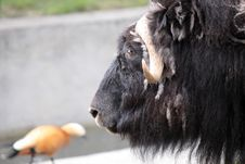 A Musk-ox Stock Photography