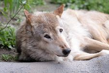 Free A Wolf Stock Image - 14602461