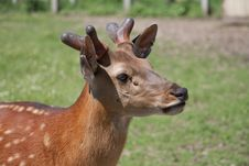 Free Dappled Deer Royalty Free Stock Photos - 14602478