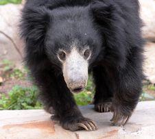 Free A Black Bear Royalty Free Stock Photo - 14602515