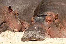 Hippo Laying In The Sand And Sleeping Royalty Free Stock Photos
