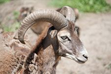Free Mouflon Royalty Free Stock Images - 14602759