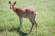 Dappled Deer Royalty Free Stock Images
