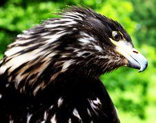 Free Eagle Royalty Free Stock Image - 14603046