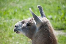 Free Lama Glama Royalty Free Stock Images - 14603309