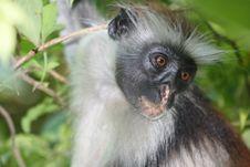 Africa,Zanzibar Island Red Monkey Royalty Free Stock Photo