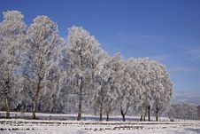 Free Birches On A Field In Winter, Germany Stock Photo - 14604110