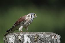 Free American Kestrel On The Stump Royalty Free Stock Photos - 14604258