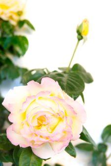 Free Beautiful Roses Stock Photo - 14605270