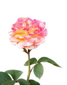 Free Beautiful Rose Over White Stock Photo - 14605280