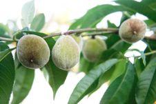 Free Green Walnuts On Tree Royalty Free Stock Image - 14605506