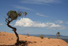 Free Lone Bristlecone Pine Stock Photos - 14605683
