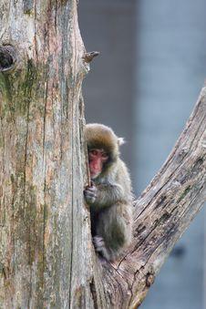 Free Macaque (Snow) Monkey S Royalty Free Stock Photos - 14605698