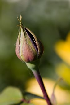 Free Rose Bud And Petals ,macro Royalty Free Stock Images - 14606049