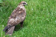 Free Falcon Stock Image - 14606101