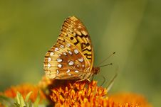 Free Great Spangled Fritillary Butterfly Royalty Free Stock Image - 14606436