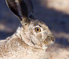 Jack Rabbit Portrait Stock Image