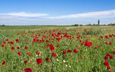Free Red Poppies Stock Photo - 14607860