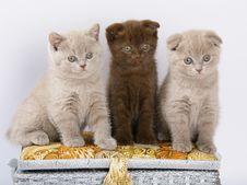 Free Three Scottish Shorthair Kittens. Stock Image - 14608021