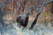 Free Nyala Antelope Stock Images - 14608084