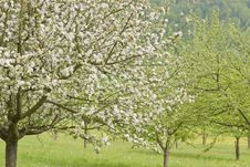 Free Blossoming Apple Trees Royalty Free Stock Image - 14608336