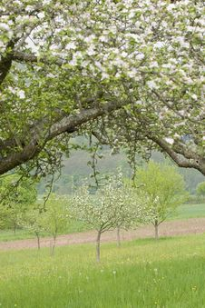 Blossoming Apple Trees Stock Photos