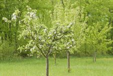 Blossoming Apple Trees Stock Images