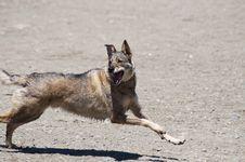 Free Dog Or Wolf Stock Image - 14608571