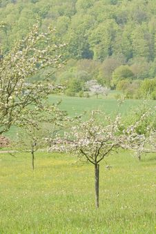 Free Blossoming Apple Trees Stock Photography - 14608672