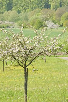 Free Blossoming Apple Trees Royalty Free Stock Images - 14608729