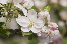 Free Blossoming Apple Trees Royalty Free Stock Images - 14608799