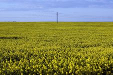 Free Rape Plant And Rape Field Royalty Free Stock Photos - 14608878