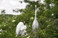 Free Great Egrets Royalty Free Stock Photography - 14609217