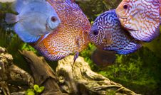 Free Four Aqua Fish, Discus Stock Photos - 14609303
