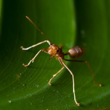 Free Tropical Ant Royalty Free Stock Photos - 14609308
